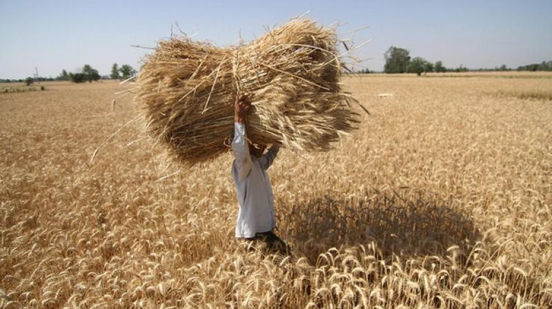 The country imported 1.48 million tonnes of wheat during 2017-18 fiscal, as per the industry data. (Photo: PTI)