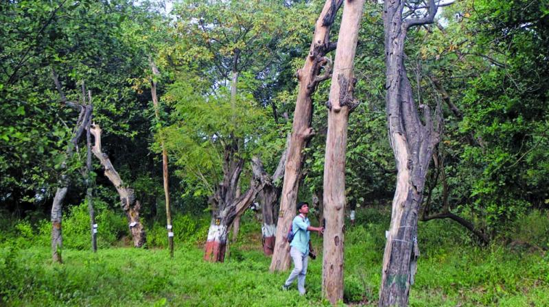 An environmentalist looking towards transplanted trees near Aarey car shed. (Photo: MRUGESH BANDIWADEKAR)