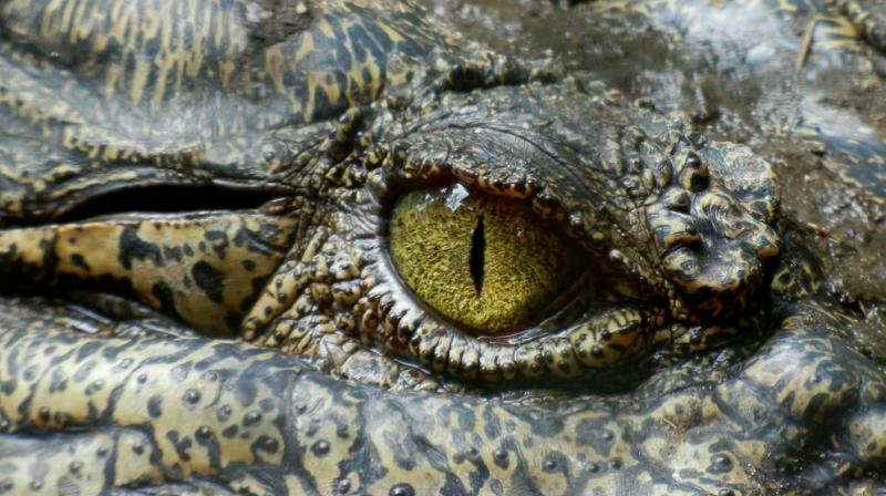 Siamese crocodiles are legally bred in China for their meat and leather (Photo: Pixabay)