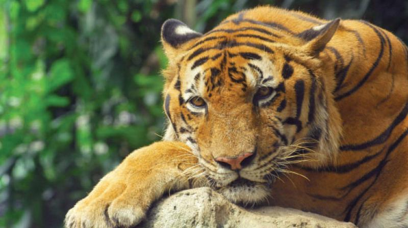 According to the state forest department, a man-eating tiger was captured last December in Madhya Pradesh after it travelled 510 kilometers from Chandrapur power plant. It killed two farmers on its way.