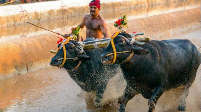 Video evidence shows that kambala is inherently cruel and that participants use violence to force buffaloes to run – they yank them by ropes threaded through holes pierced in their sensitive noses, beat them in the face and body, hit them with heavy wooden sticks, and break their tailbones. (Photo: DC)