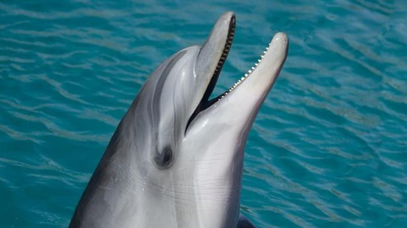 Common dolphins have peak frequencies below 100 kilohertz (KHz) while for harbour porpoises it is around 130KHz..  (Photo: Pixabay)