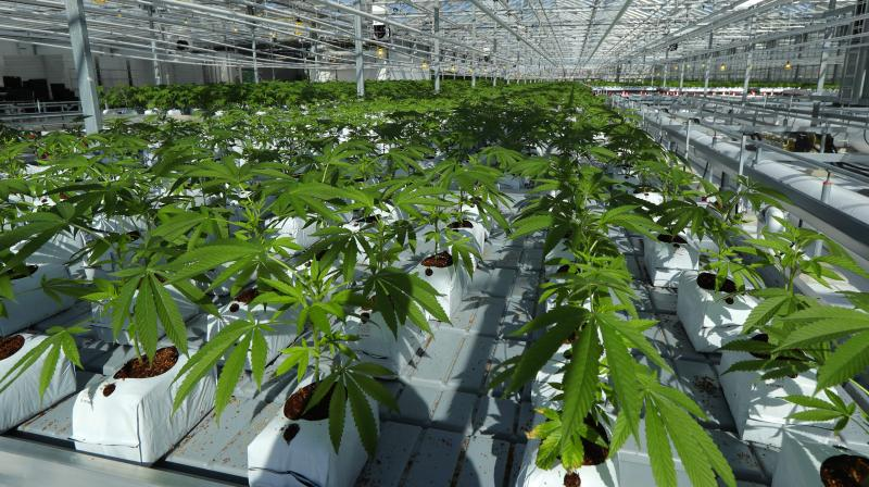 Marijuana plants are shown growing in a massive tomato greenhouse being renovated to grow pot in Delta, British Columbia, that is operated by Pure Sunfarms, a joint venture between tomato grower Village Farms International, and a licensed medical marijuana producer, Emerald Health Therapeutics. (Photo: AP)