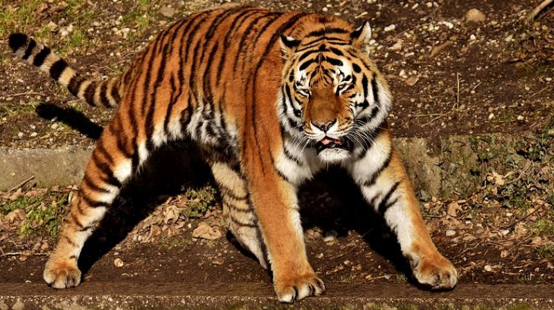 Babhulkar has adopted the eight-year-old tiger, now housed in the newly-opened Gorewada Rescue Centre in Nagpur.