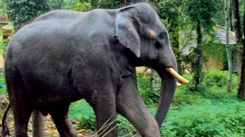 Brahama informed Assam Assembly that man-animal conflicts was responsible for the death of at least 99 elephants in the past five years. (Representational image)