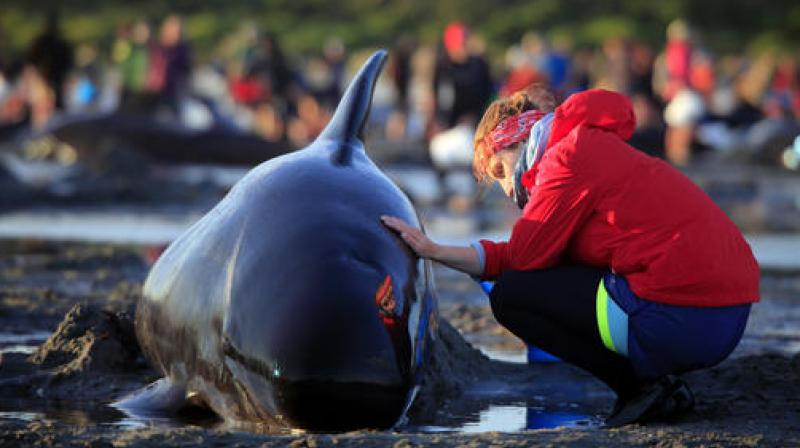 German visitor Lea Stubbe rubs water on a pilot whale that beached itself at the remote Farewell Spit on the tip of the South Island of New Zealand. (Photo: AP)