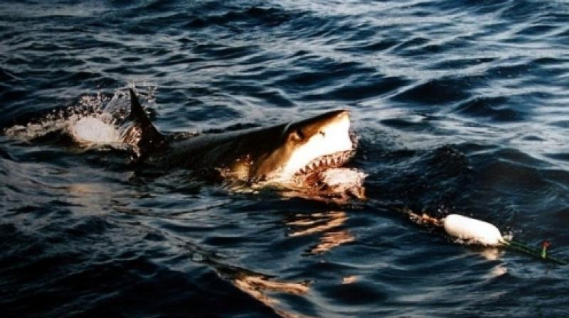 Australia has one of the world's highest incidences of shark attacks and there have been five fatal ones in the country so far this year.(AP)