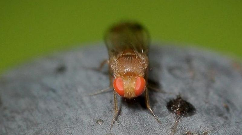 The experiment showed how male flies who hadn't ejaculated for days opted for alcoholic meals (Photo: AFP)