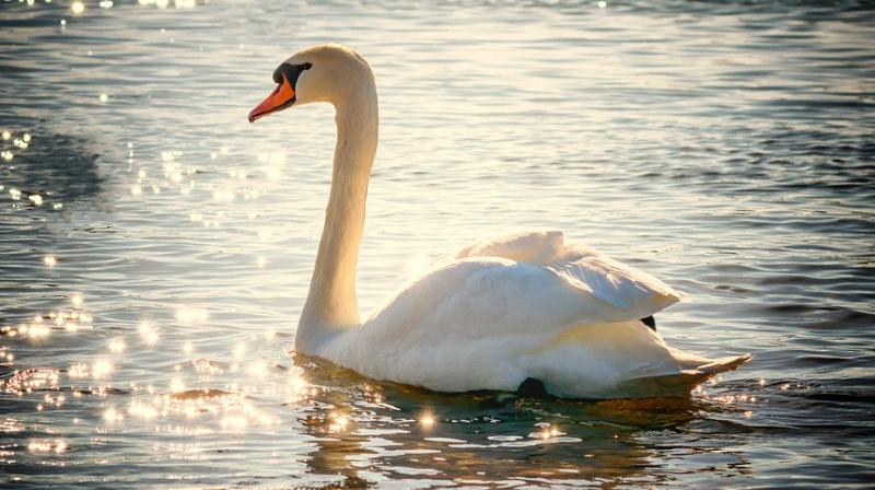 The Queen is known to take a great interest in the Windsor swans. (Photo: Pixabay)