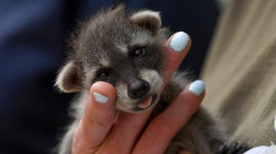 A new-born raccoon cub is held by a zoo official during its presentation in Zoo of Debrecen in Hungary. (Photo: AP/Zsolt Czegledi)