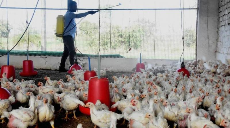 A worker sprays disinfectant in view of bird flu in a poultry farm in Bhopal. (Photo: PTI)