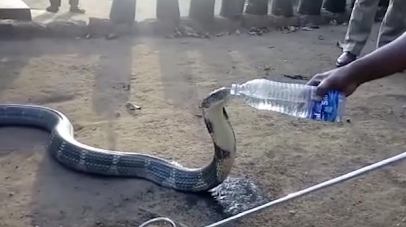 The thirsty snake was seen lapping up the water instantly after it was fed by the villagers. (Photo: Youtube)
