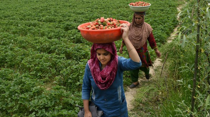 Farmers carry strawberries in a basket after harvesting, during the ongoing nationwide lockdown to contain the spread of coronavirus, in Srinagar, Wednesday, May 13, 2020. There is no Swiggy and Zomato here unlike several cities in the rest of India for fresh produce to be delivered to customers. And whatever little digital services allowed entrepreneurs to do business has also been rendered useless since the Indian government suspended 4g high speed internet services in the Valley. (Photo | AP)