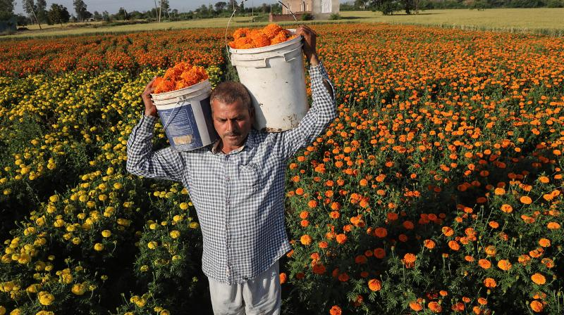 farmer collects flowers after plucking from a field near international border in Suchetgarh sector on the outskirts of Jammu. PTI Photo