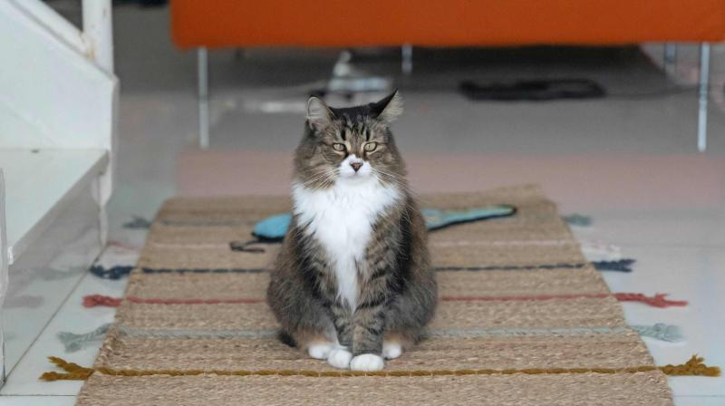 Tabby cat Poppet sits on a rug at home of cat consultant Briganne Carter in the outlying island of Cheung Chau in Hong Kong.  (AFP)