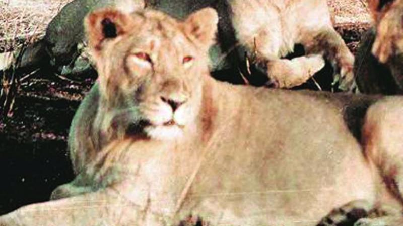 Gir lions