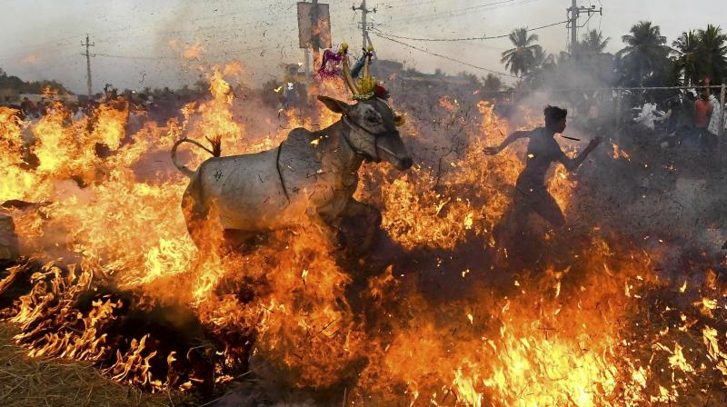 Bulls are made to jump across a blazing wall of fire during annual rituals to exorcise evil, on Makar Sankranti festival, at a village near Mysore. (Photo: PTI)