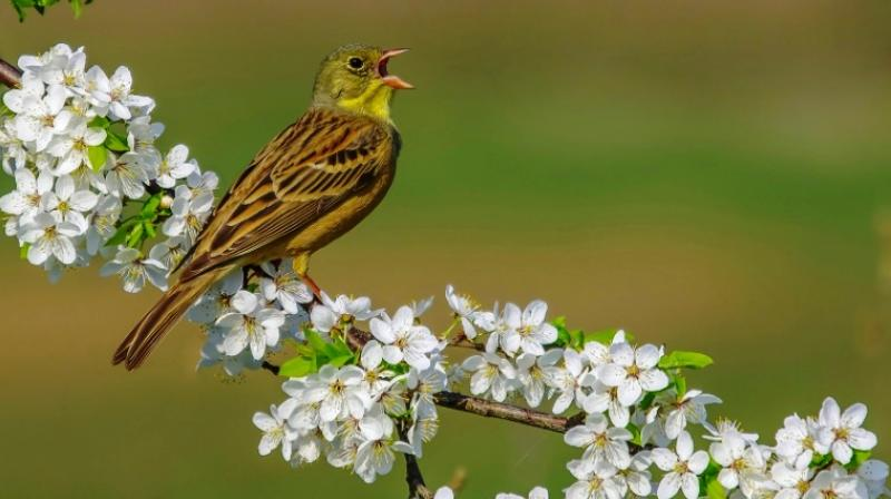 Ending the hunt would give the ortolan an average of twice the chance of survival. (Photo: AFP)