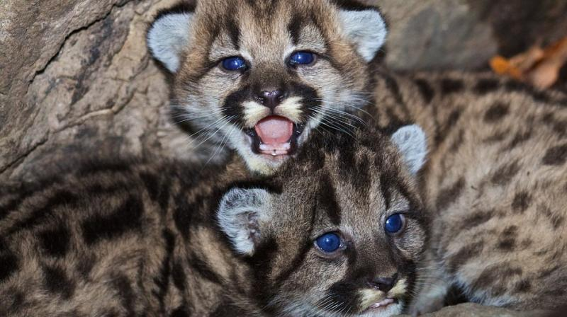 The research shows that food sharing among this group of mountain lions is a social activity. (Photo: Pixabay)