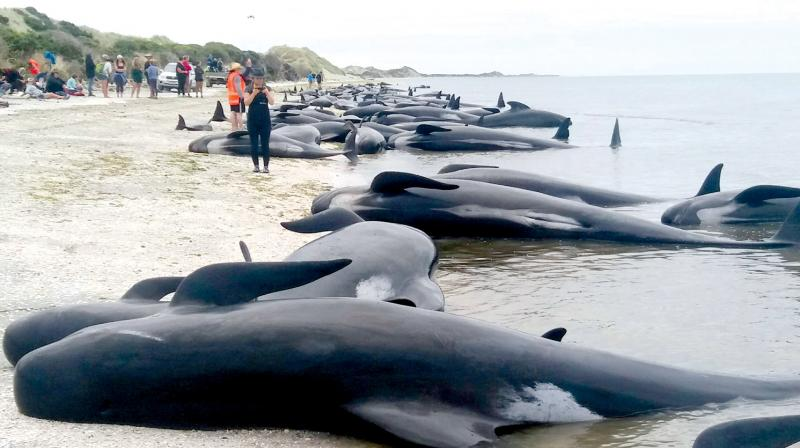 Stranded whales on Farewell Spit beach in New Zealand. (Photo: AP)