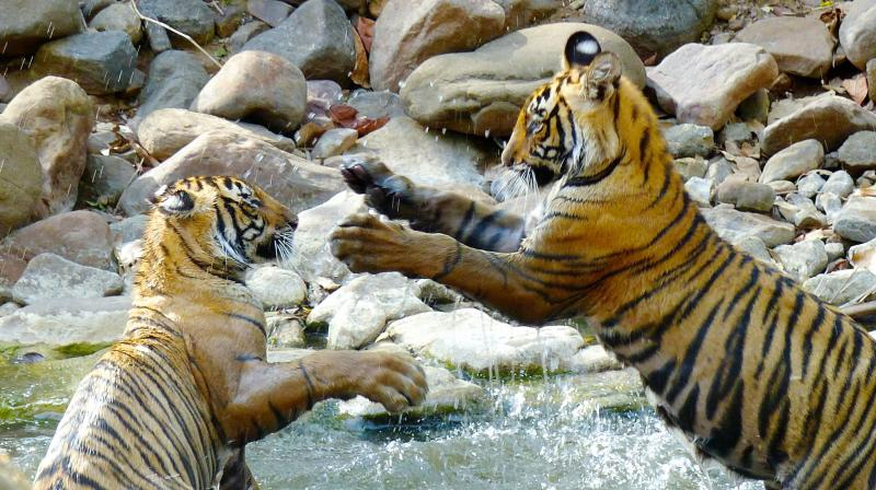 One-year-old tiger cubs are shown roughhousing with one another in a shallow stream in Ranthambore National Park in northern India. (Photo: AP)