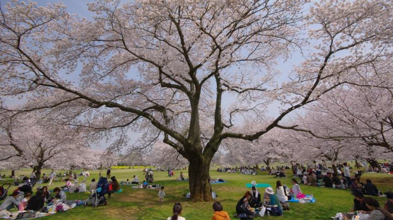 The blossoms will be falling in about one week after the peak bloom.
