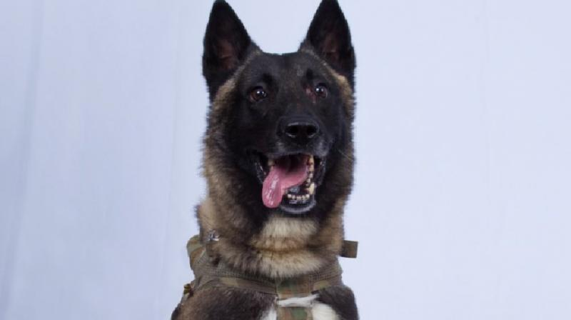 """The """"hero"""" dog that assisted the American commandoes in the mission that led to the death of ISIS leader Abu Bakr-al Baghdadi will soon visit the White House, US President Donald Trump has said. (Photo: File)"""