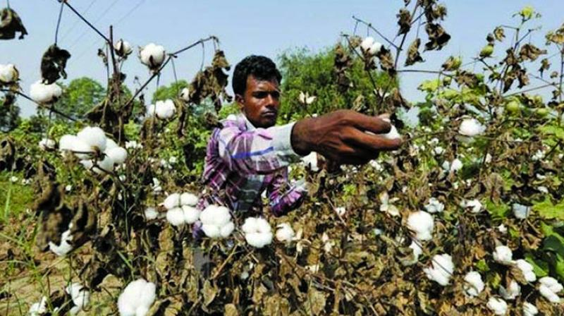 Cotton farmers have suffered damages due to attack by pink boll worm.