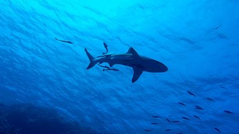 The Environment Ministry said Friday the woman was killed the previous day by a tiger shark off the remote island. (Photo: Pixabay)