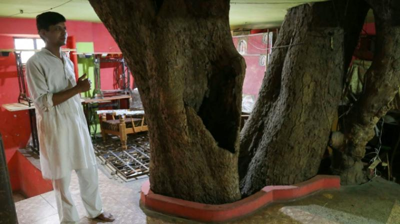 The big tree, known as peepal in Hindi, is considered sacred by many in India and cutting one down is considered inauspicious. (Photo: AFP)