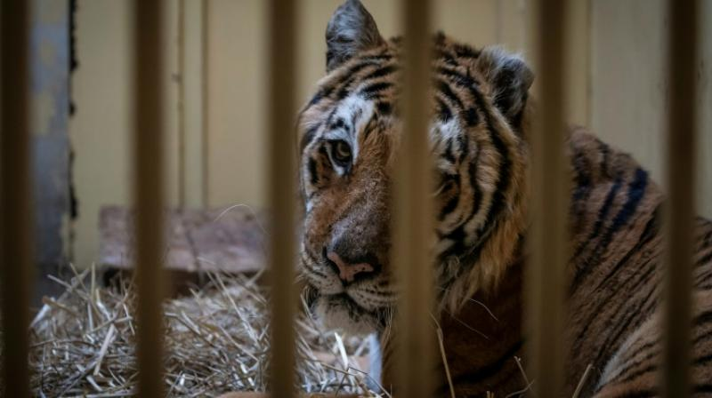 In late October, Polish border authorities found 10 emaciated and dehydrated big cats in the back of a truck taking them from Italy to a zoo in Russia. (Photo: AFP)