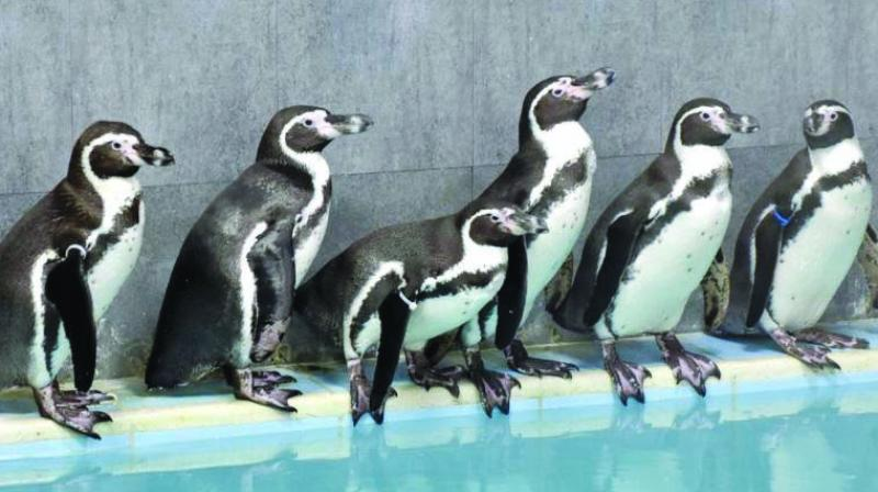 Humboldt Penguins at Jeejamata Udyan in Byculla.