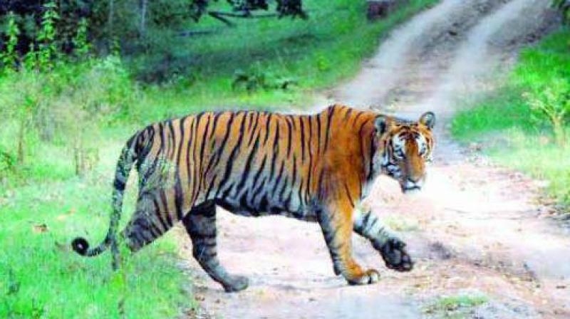 The authorities are yet to announce the census report of Nameri National Park, another tiger reserve in Assam.