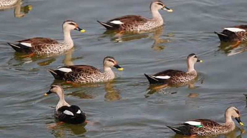 The virus killed 23,950 ducks out of a flock of 30,462 ducks, the ministry said. (Representational Image)