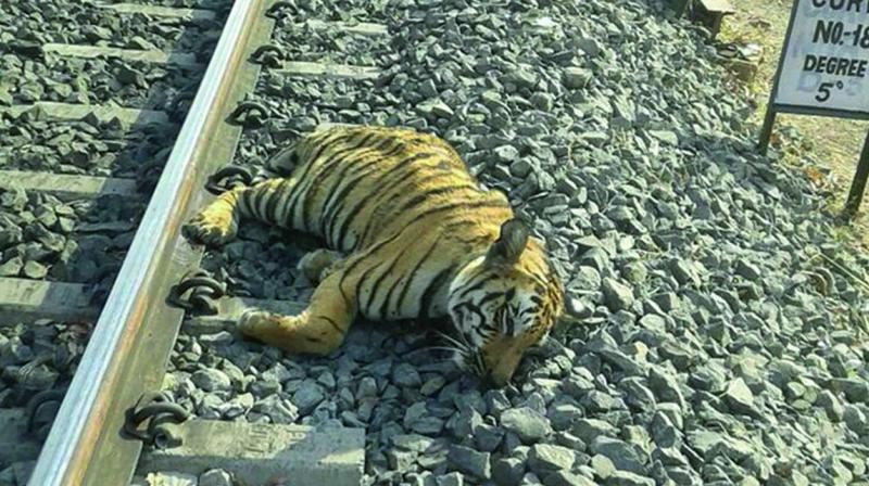 The caracas of a tiger lies on a railway track. (Photo: PTI)