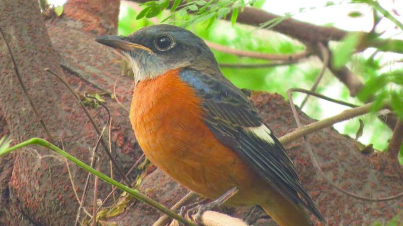 A blue-capped rock thrush