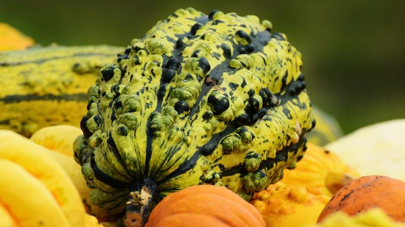 Cucurbits can contain cucurbitacin, a toxic compound that gives off a bitter taste. (Photo: Pixabay)