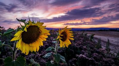 Sunflowers blossom on a field in Frankfurt as the setting sun dispered colours in the sky. (Photo: AP)