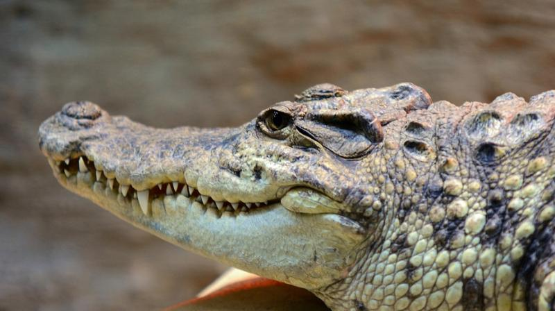 The Indonesian archipelago is home to a vast array of wildlife, including several species of crocodile that regularly attack and kill humans. (Photo: Representational/Pixabay)