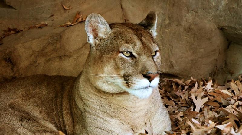 eastern puma officially declared extinct