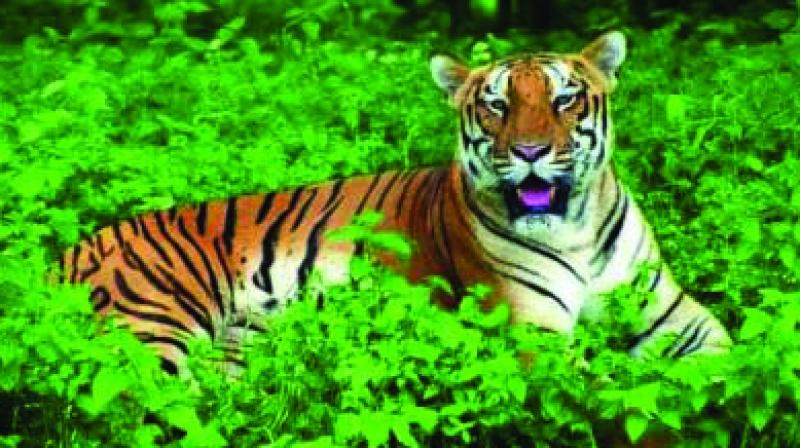 Congress MP Suresh Dhanorkar said that around 11 people had been attacked by the tiger. Of these, eight were dead, two persons are very serious and one has injuries.