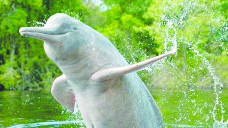 Experts, who have been raising their voice against the proposed waterway project, said dolphin population is already on the decline to pollution in the Ganga, silt accumulation and poaching.