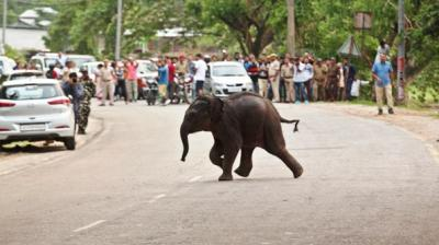 A baby wild elephant crosses a road to return to the forest after being rescued at Deepor Beel wildlife sanctuary in Gauhati. (Photo: AP/Anupam Nath)