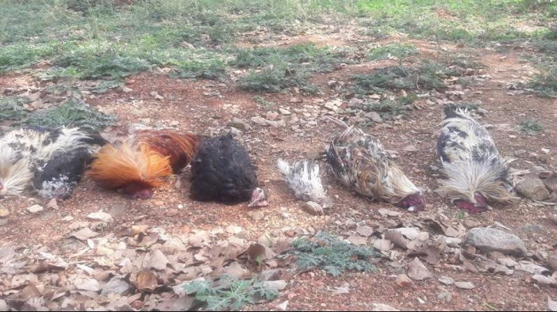 Death of domestic fowl tipped off the authorities in Mysuru