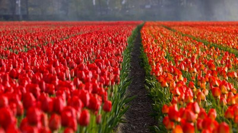 Tulip is a major part of the Dutch horticulture economy — while also being celebrated as part of the culture. (Photo: Pixabay)