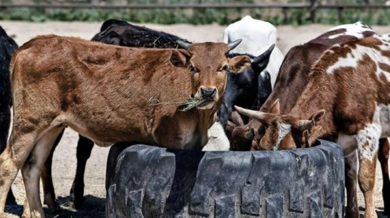 The Centre has chipped in by banning the export of beef and cows, thereby minimising the incentive for cow slaughter. (Representational Image)
