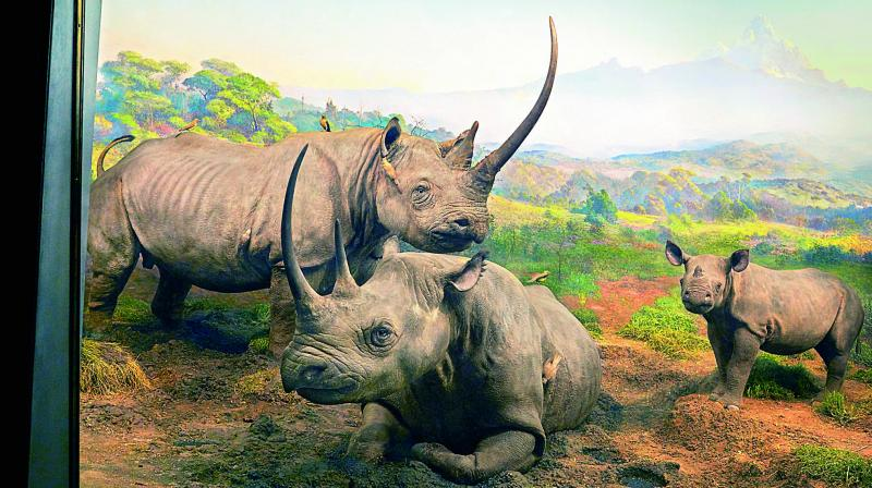 The famous Black Rhinoceros Diorama American Museum Natural History.