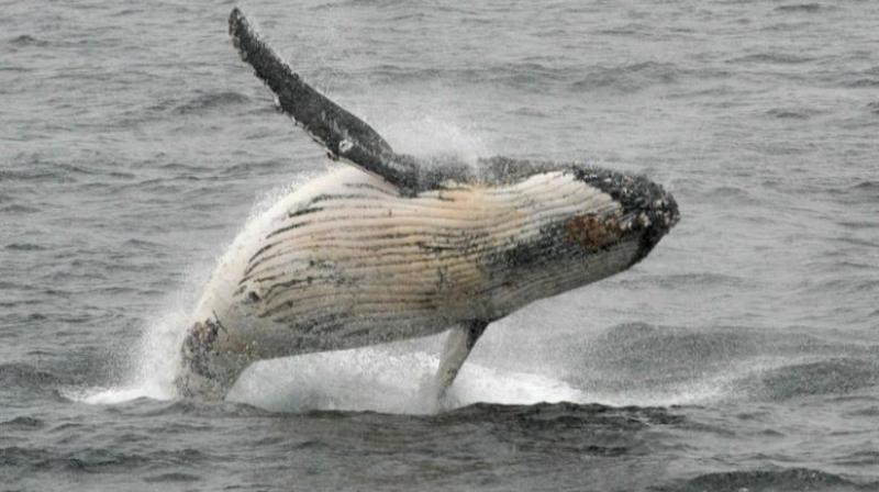 Although whales are sometimes seen off the Northern Territory coast, it is believed to be the first time one has been spotted in the tropical rivers of the huge world heritage-listed nature reserve. (AFP)