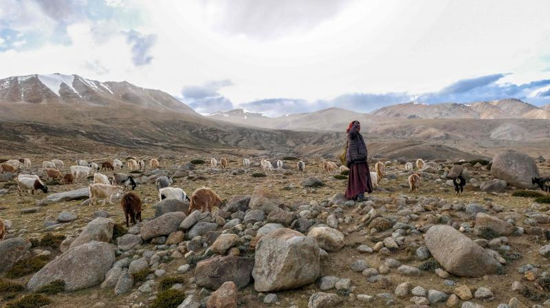 In this file photo taken on August 29, 2019, a Changpa nomad shepherd pastures pashmina goats near Korzok village, in the Leh district of Ladakh. AP Photo