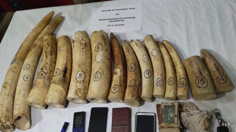 Tusked seized by Odisha forest officials. (DC Photo)